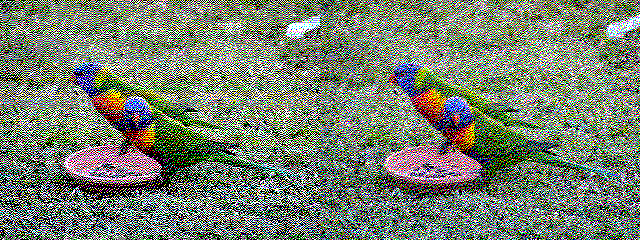 Rainbow lorikeets on a lawn