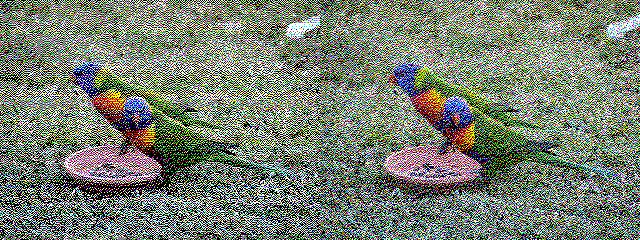 Rainbow lorikeets on a lawn